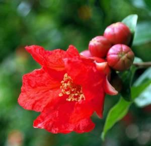 Flor Del Granado.2