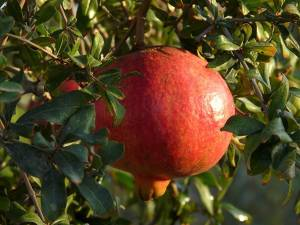 Big-pomegranate