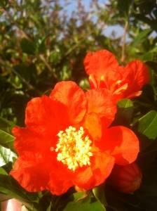Flor-de-granado1