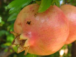 Pomegranate Symbol