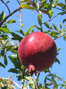 Pomegranatew
