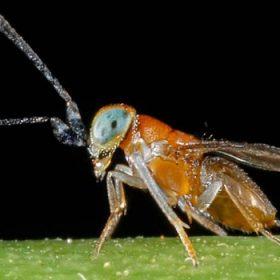 Anagyrus pseudococci
