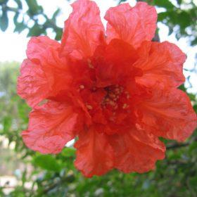 flor granado
