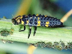 coccinella-septempunctata