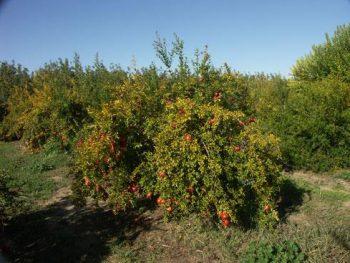 Afganski