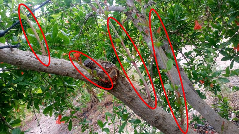 Resultado de imagen para chupones arbol
