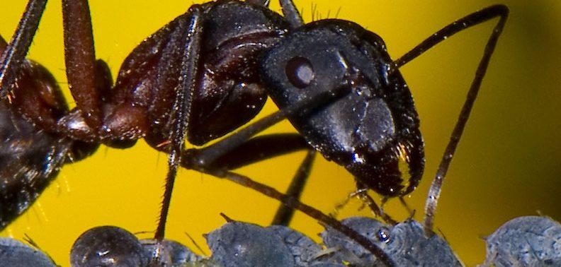 Presencia de hormigas en el granado