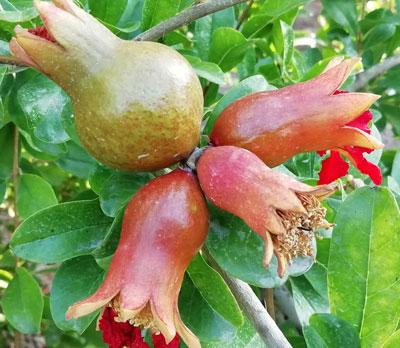 Tras el cuajado viene el aclareo de fruta